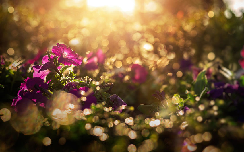little flowes with gold bokeh and light sunset. Bokeh Photography Sunset Flower Defocused Tree Illuminated City Beauty Front Or Back Yard Multi Colored Purple Pink Color Dew Blade Of Grass Focus Leaf Vein Single Flower Botany Blossom Pollen Flower Head Drop RainDrop In Bloom Plant Life Magenta Stamen Dahlia Blooming Petal