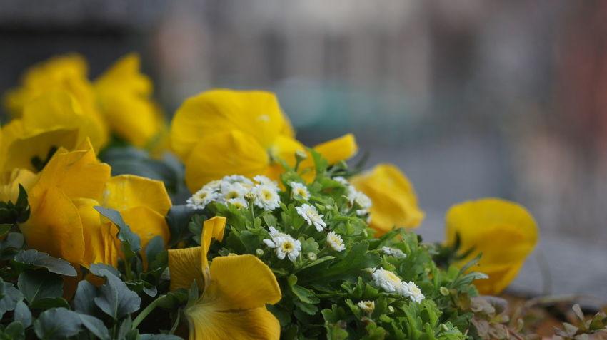 Flower Yellow Plant Close-up Day Elmar9cmf4 Elmar Elmar90mmf4