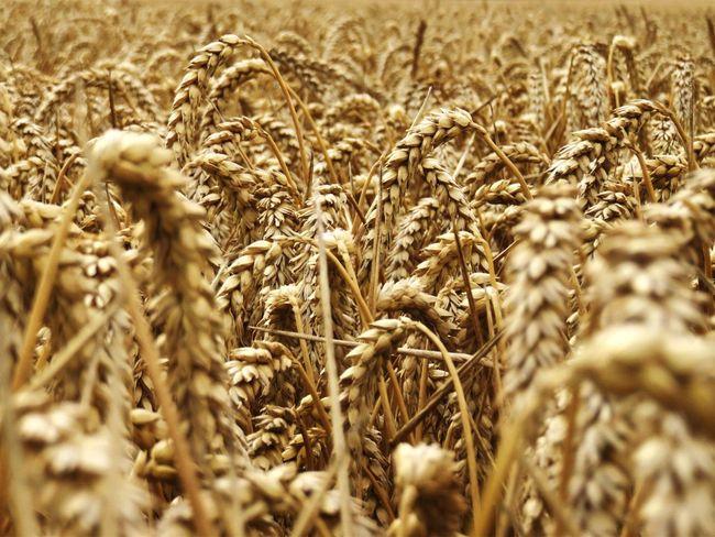 Gwenith Wheat England Field Farming Lloegr Caint Kent Stourmouth Nature