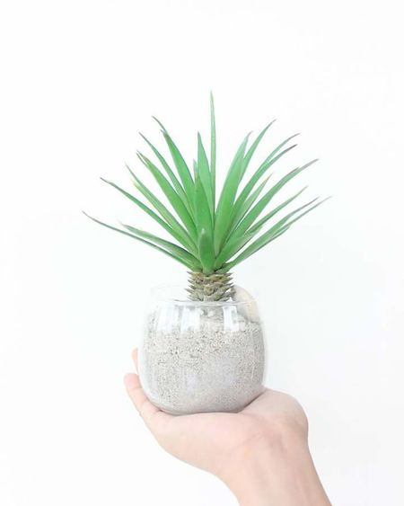 Holding Plant Growth Person Potted Plant Freshness White Background Nature Spiked Green Color Beauty In Nature Focus On Foreground Studio Shot Thorn Botany Bloom