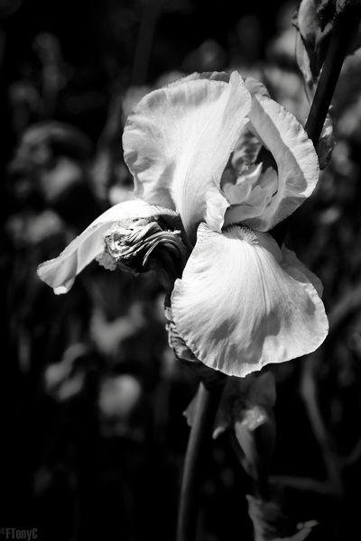 Beauty In Nature Blackandwhite Flowers Iris Monochrome Petal Transient Wilted Flower