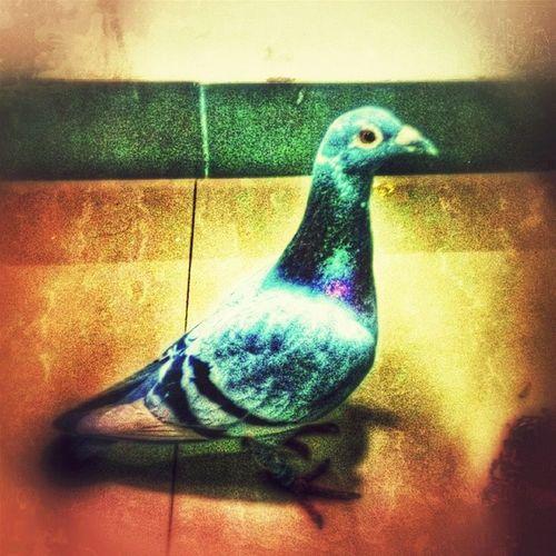 鸽子 University 宿舍 修图 阳台 隔壁宿舍飞来个鸽子 弄得都是鸟屎。我还踩上一脚?。