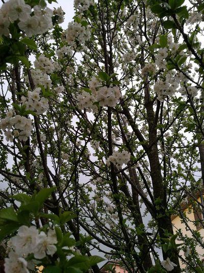 Fiori Di Ciliegio Tree Flower Perching Bird Branch Springtime Close-up Animal Themes Sky