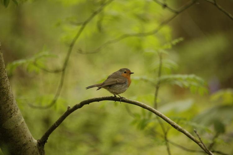 Robin redbreast a lovely winterbird Nature Nature On Your Doorstep Nature Photography Animal Themes Animal Wildlife Animals In The Wild Beauty In Nature Bird Branch Close-up Day Focus On Foreground Forest Forest Photography Nature Nature_collection Naturelovers No People One Animal Outdoors Perching Redbreasted Robin Robin Robin Redbreast Tree