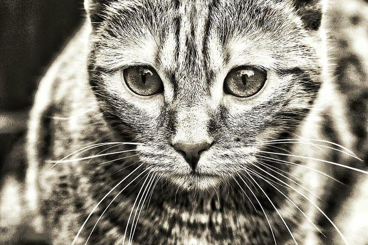 Cats Cat Lovers Cat♡ Cats Of EyeEm Cats Lovers  EyeEm Animal Lover Cats 🐱 Cateyes Katzenliebe Katzenfoto Kedi Kedi Aşkı Katzenaugen Katzen 💜 Animals Pets Of Eyeem Pet Photography