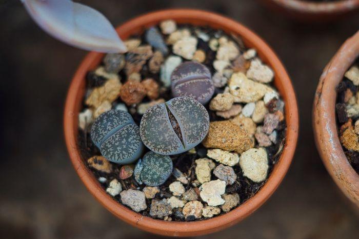 Blumentopf Bowl Close-up Day Focus On Foreground Garden Indoors  Lebende Steine No People Sukulente