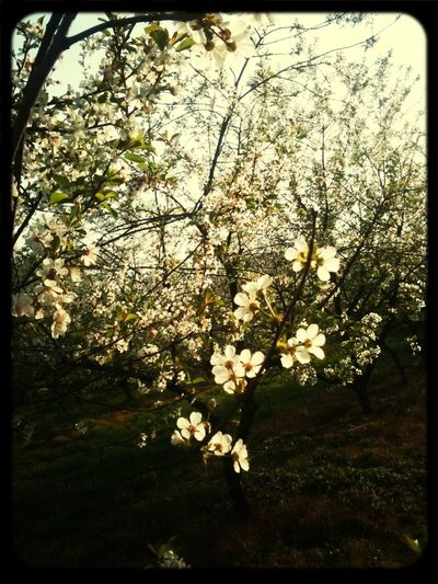 Cherry Blossoms Spring Love Beautifulday