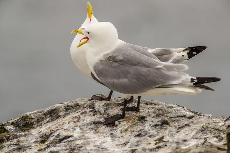 Close-up of seagull perching on rock