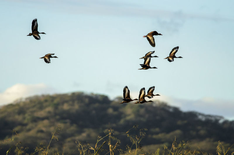Black-bellied Whistling-ducks in flight (Dendrocygna autumnalis), Palo Verde Animal Themes Animal Wildlife Animals In The Wild Bird Black-bellied Whistling-duck Costa Rica Dendrocygna Autumnalis Duck Flying National Park Nature Nature Palo Verde Tropical Wetland Wilderness Wildlife