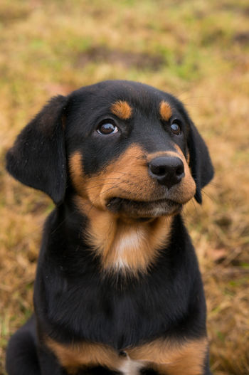 Dog One Animal Animal Themes Domestic Animals Pets Black Color Close-up No People Portrait Nature Puppy Puppy❤ Rottweiler Mammal Grass Field Cute Cute Pets