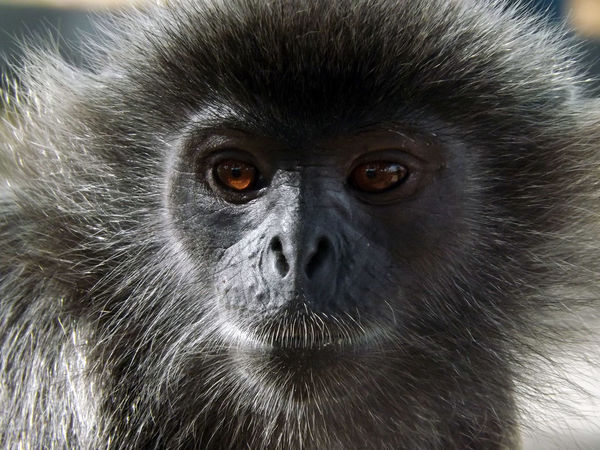 Animals Animal Animals In The Wild Animal Photography Animal_collection Monkey Langur Eyeem Monkeys Selangor