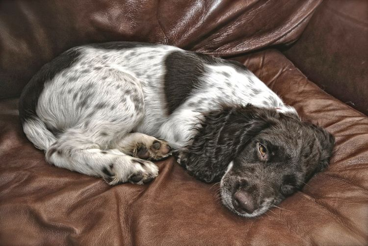 Sooooo tired Springer Spaniel Dogs Relaxing Dog Walking Dogslife Dog Photography Relaxation Pets One Animal Snow ❄ Pet Portraits Pet Photography