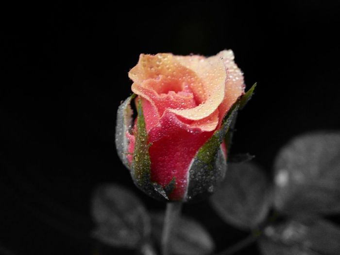 Lonely Rose... Black Background Flower Close-up No People Freshness Fragility Studio Shot Food Flower Head Nature Indoors  Day First Eyeem Photo