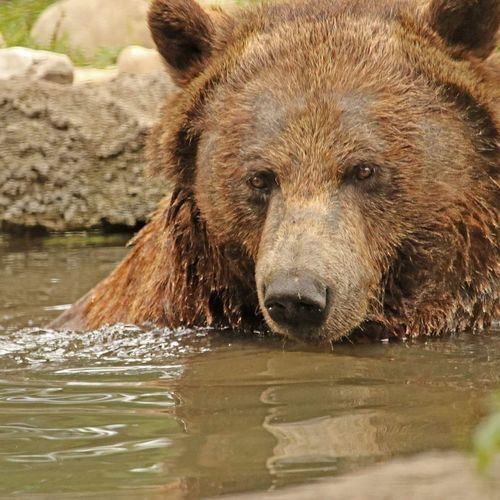 Grizzly Grizzly Bear Grizzly Bath Time Wildlife Photography Bears Animal Alberta Canada Animal Finding New Frontiers