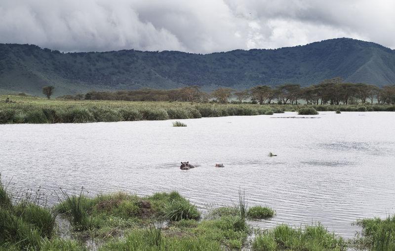 Hippopotamus Ngorongoro Ngorongoro Crater Tanzania Wildlife Photography Africa Animal Animal Wildlife Beauty In Nature Lake Wild Wildlife