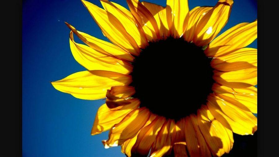 Good Afternoon Sunflower. Bright Yellow Sunflower Blue Sky