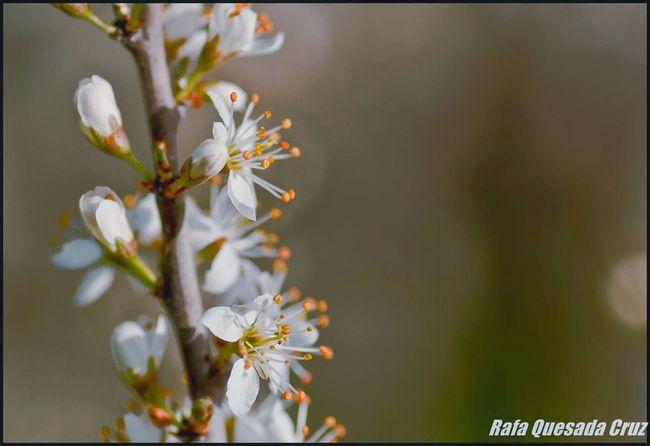 Flowers Flower Ciruelo