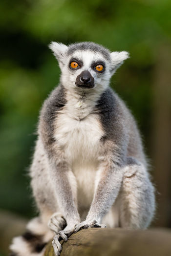 Portrait Of Ring-Tailed Lemur Sitting On Bamboo At Zoo