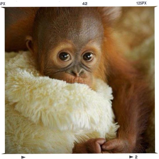 Orangutan Kalimantan Hello World Saveorangutans