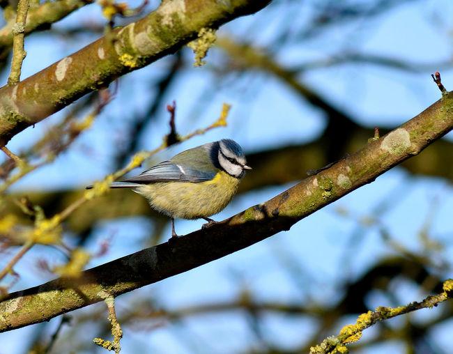 Bluetit perching on branch