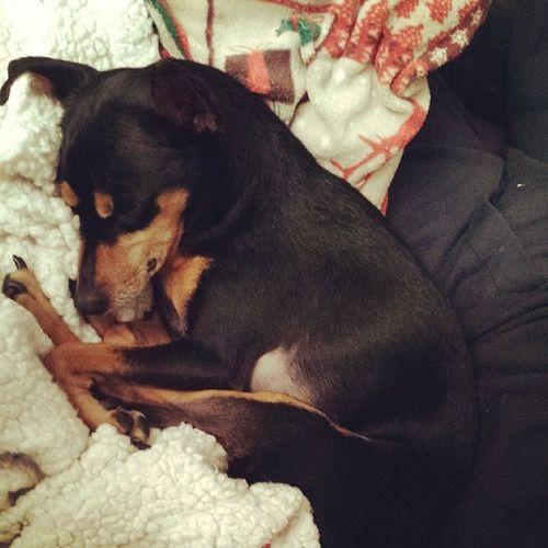 Pinscher Pincher Zwergpinscher Zwerpincher Minipinscher Minipincher Minipin Puppy Dog Bestanimal Happy Nanna Sleppydog