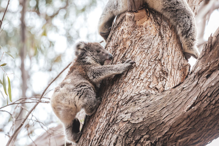 Koala climbing up a eucalyptus tree