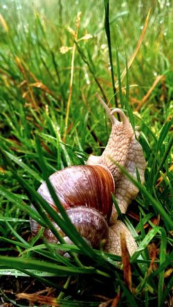 Schnecke 🐌 im Gras Snail One Animal Animal Themes Nature Grass Close-up No People Outdoors Gastropod Fragility Day Animals In The Wild