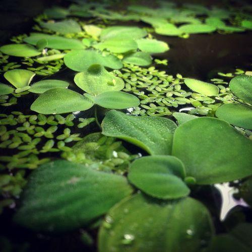Aquarium Dennerler Plantes Aquatique Aquascaping Aquascape Aquariophile Crevette