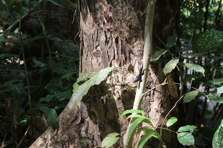 Cuban Impression Forest Path Forest Photography Cuban Lifestyle Travel Power In Nature Sun Rainforest No People Outdoors Jungle Cuba Tranquility Tranquil Scene Forest Forestwalk Beauty In Nature Forestphotography Lizard Lizard Watching Lizard Nature Lizaratravelphotography