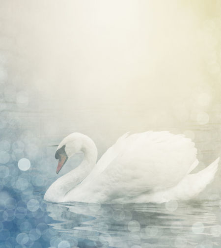 Swan Artist Beautiful Light Print Textured  Animal Background Beauty In Nature Bird Copy Space Creative Design Fine Art Lake Nature One Animal Swan Swimming Water Water Bird Wild