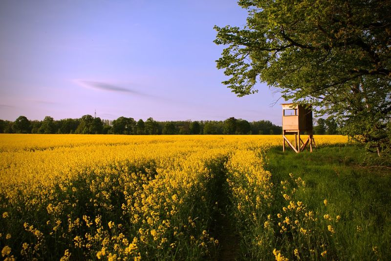 Rapeseed Blossom Rapeseed Field Rapeseed Plant Field Sky Growth Beauty In Nature Landscape Tree Land Agriculture Environment Yellow Scenics - Nature Rural Scene Tranquility Tranquil Scene Flower Farm Flowering Plant Crop  Nature