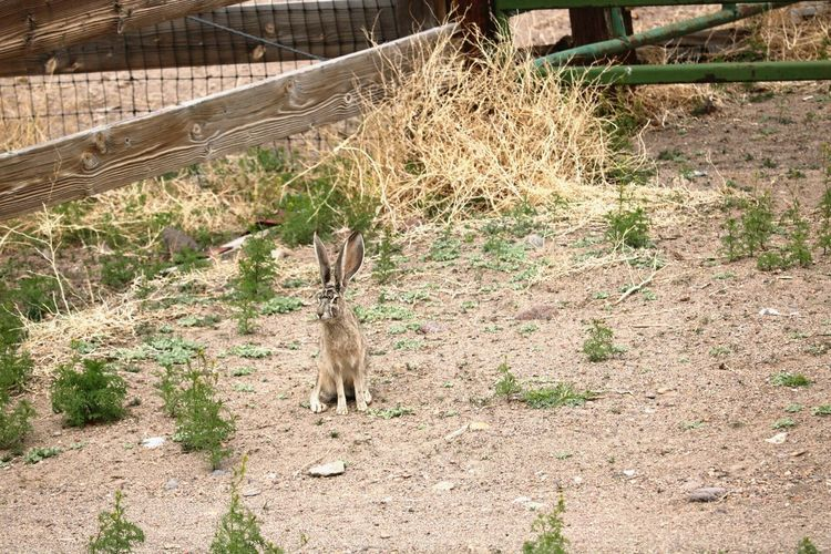No People Rabbit Jackrabbit One Animal Animals In The Wild Mammal Animal Wildlife Outdoors