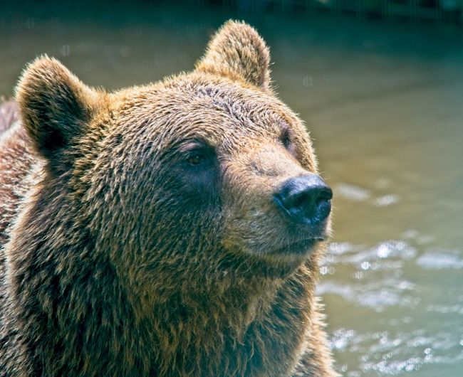 Bear playing in the water