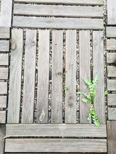 Löwenzahn Frühlingserwachen Holztextur Wood - Material Outdoors Rooftop Scenery Dandelion Holzelement