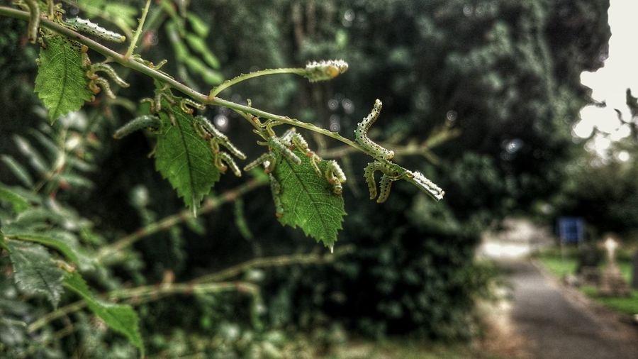 Catterpilar Attack Catterpillar Catapiller Garden Leaves And Branches Eatenbynature Almost Gone  Green Caterpillar Catapiller Buddies Forgotten Dreams New Nightmares Rose Plant Rose🌹 Rose Collection