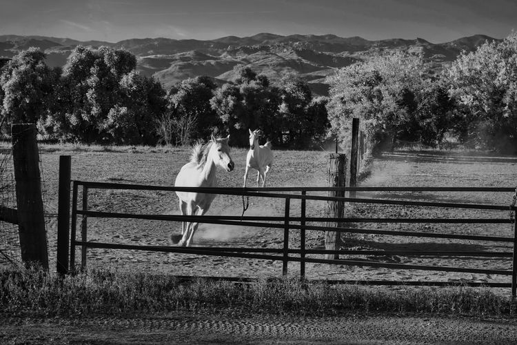Hurry up! Animal Themes Arabian Horses Domestic Animals Group Of Animals Horse Horses In Black And White Horses In Corral Horses Trees And Mountains Land No People Running Arabians Running Horses Running White Arabians White Arabians