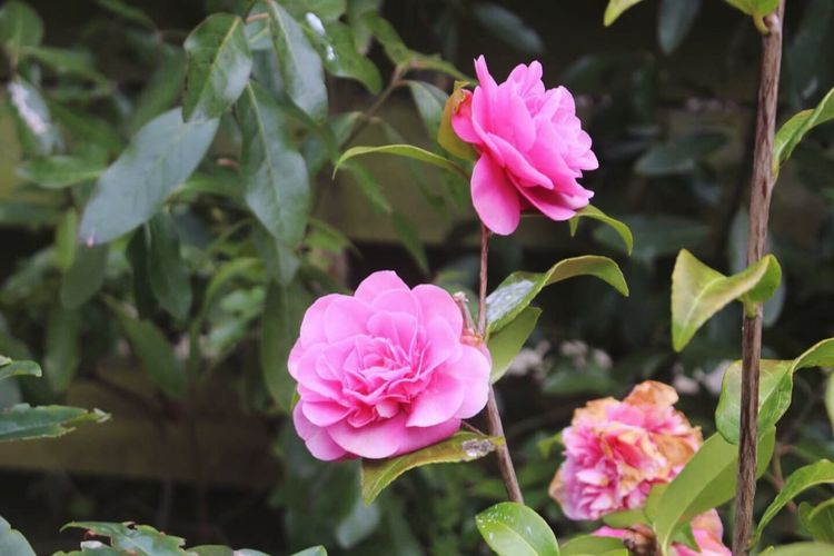 Close-up of pink roses blooming outdoors