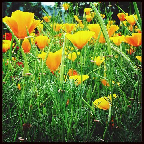 California Daffodils. ..