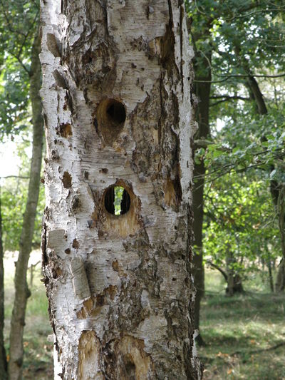 Birch Tree Woodpecker-holes