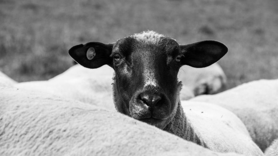 Animal Themes Animals B&w Black And White Blackandwhite Close-up Day Domestic Animals Focus On Animal Herd Herd Animal Livestock Mammal Narrow Depth Of Field Nature Nature No People One Animal Outdoors Scenics Sheep Sheep🐑