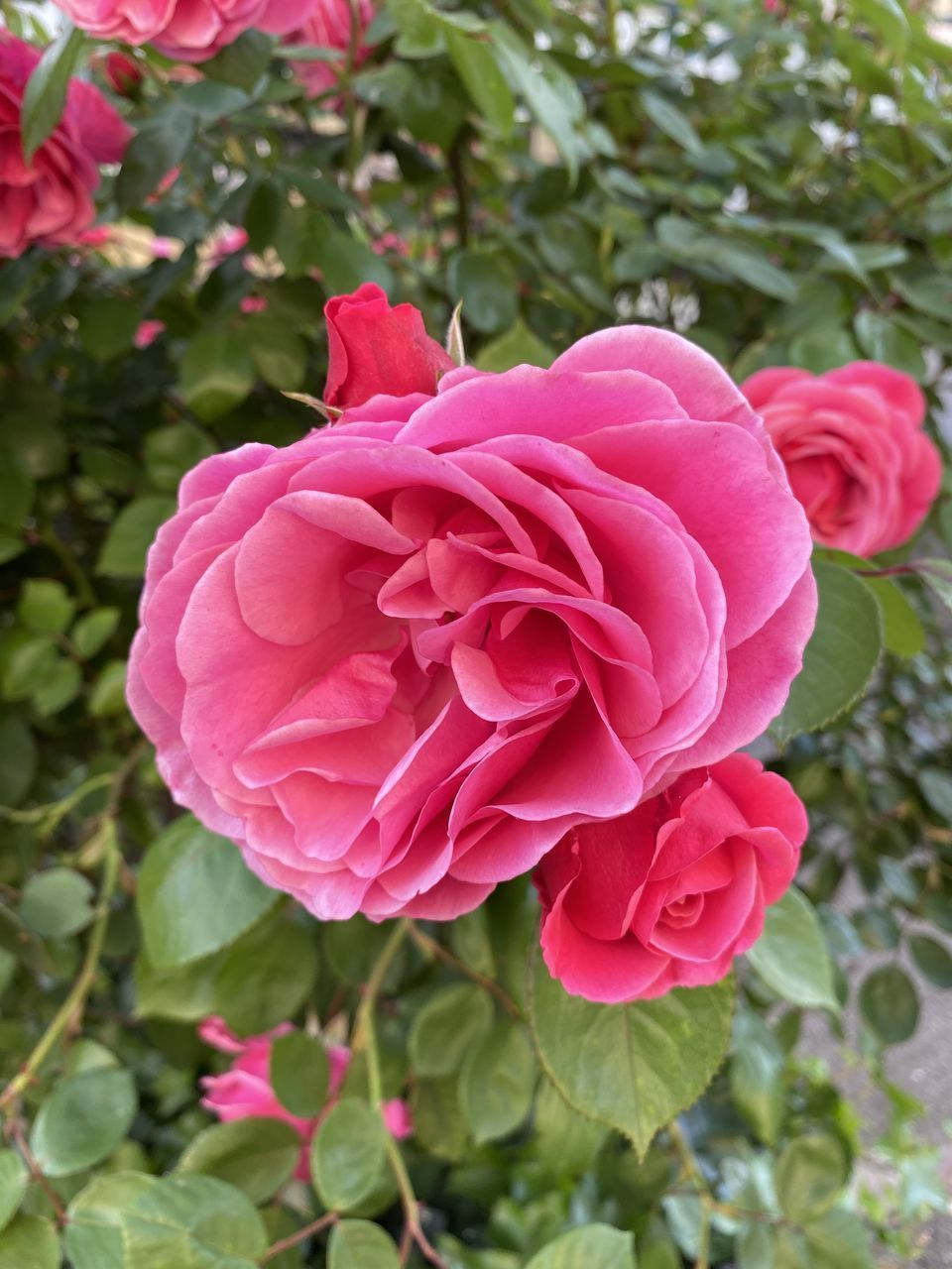 CLOSE-UP OF PINK ROSE IN BLOOM