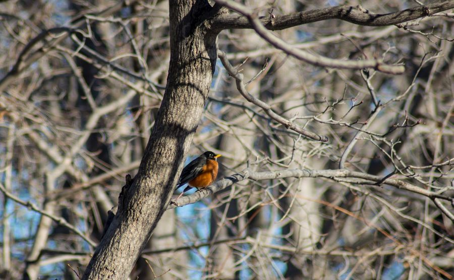 One Animal Animal Themes Bird Animals In The Wild Tree Branch Perching Bare Tree Animal Wildlife Nature Day Outdoors No People Beauty In Nature Kingfisher American Robin Red Breasted Robin Red Birds Birds Of EyeEm  Birds_collection Winter Forest Photography Forest