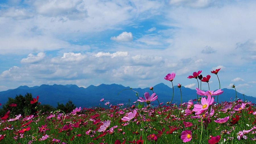 Blue Sky Landscape Beauty In Nature Blue Sky And White Clouds Cosmos Flower Mt,Haruna Takasaki City Japan