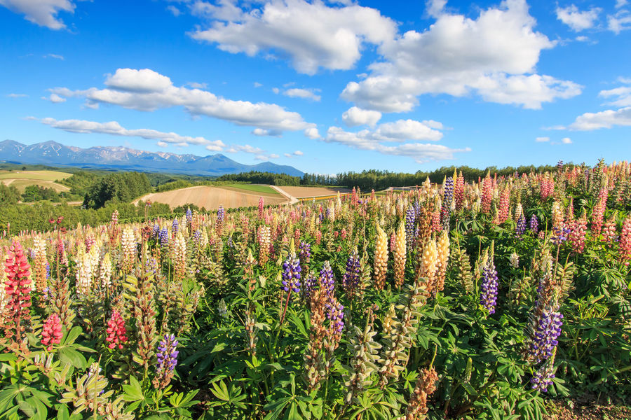 Flower garden in Kamifurano, with mountain view in Furano, Hokkaido Japan Agriculture ASIA Beauty In Nature Biei Cloud - Sky Field Flower Flowers Fragility Freshness Furano Growth Hokkaido Japan Landscape Nature Otaru Plant Scenics Sky Spring Springtime Tranquil Scene Tranquility Travel