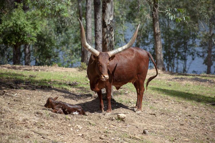 Watusi birth Tree Mammal Animal Themes Animal Plant Animal Wildlife Land Day Standing Field Vertebrate Nature No People Animals In The Wild Watusi