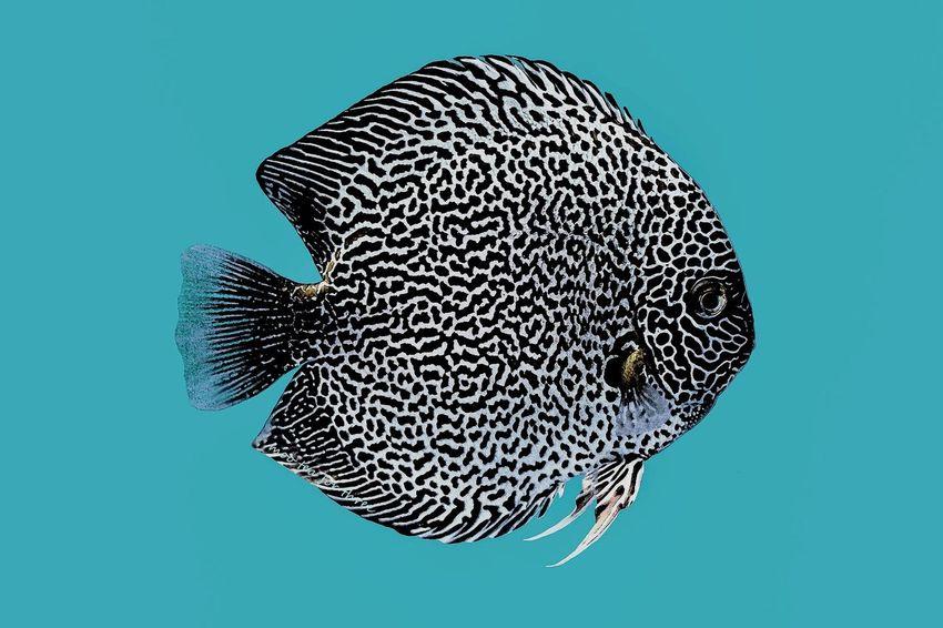 Turquoise By Motorola Illustration Fish Discus Art The Creative - 2018 EyeEm Awards