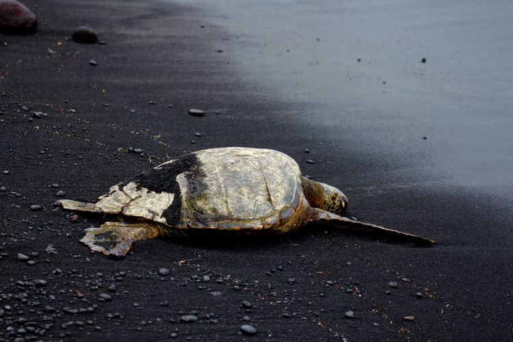 Animal Shell Animal Themes Animal Wildlife Animals In The Wild Beach Day Hawaii Nature No People One Animal Outdoors Reptile S Sand Sea Life Sea Turtle Taking Photos Tortoise Tortoise Shell