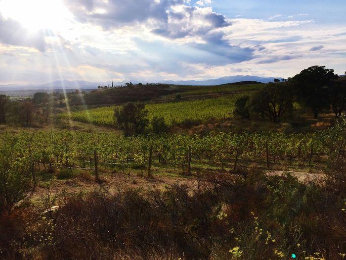 Wineyard Winelover