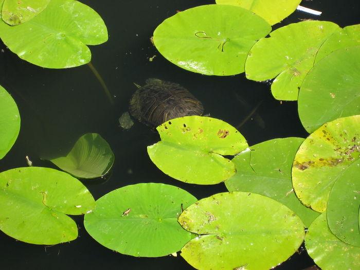 Full Frame Shot Of Lotus Leaves Floating On Pond