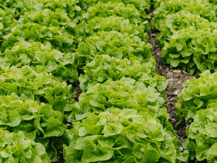 High angle view of lettuce growing on field